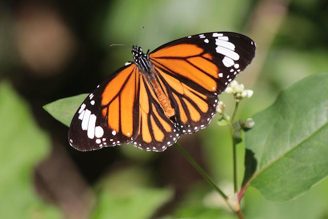 蝶々 の 種類